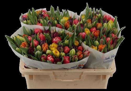 50 Tulpen gemischt (gefüllt)
