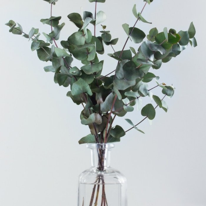 Eukalyptus stabilisiert