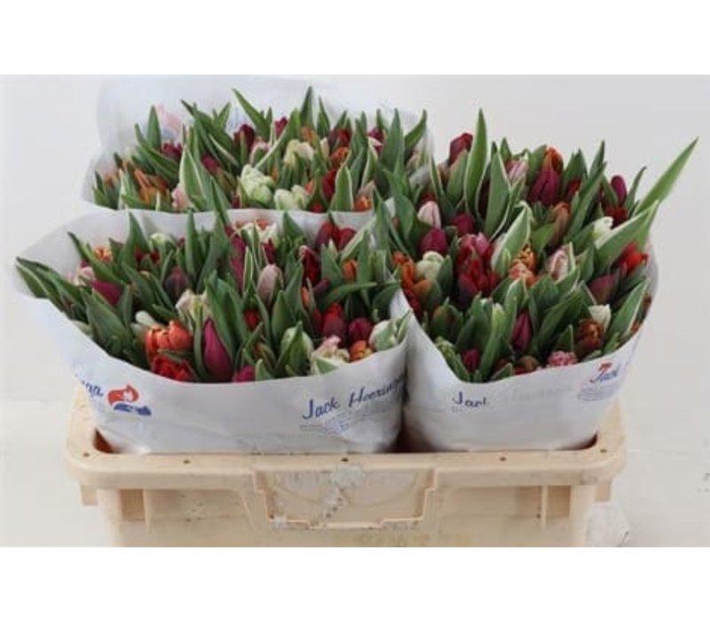50 Tulpen gemischt (Papageien-Tulpe)