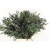 Eucalyptus Parvifolia stabilisierte präparierte echte Blätter - Copy