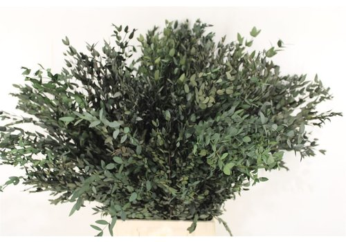 Eucalyptus Parvifolia stabilisiert