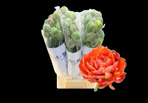 10 Tulpen Gudoshnik Gefüllt (Französische-Tulpe)