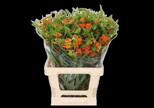 10 Stiele Asclepia Tuberosa (Orange)