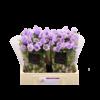 10 Stiele Campanula Champion Lavender