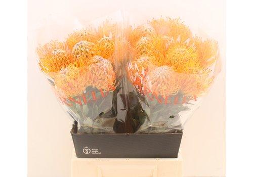 5 Stiele Leucospermum Ayoba Sun (Nadelkissen in Gelb-Orange)