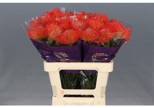 5 Stiele Leucospermum cordifolium 'Succession' (Orange)