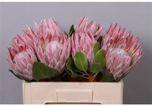 1 Protea Protea cynaroides (Rosa)