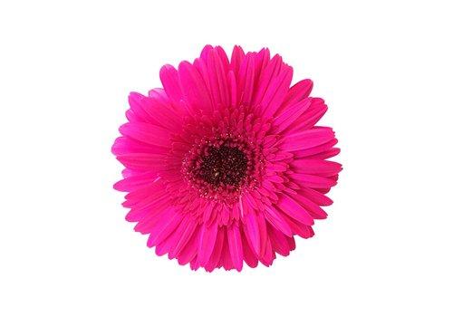 25 Gerbera Rich (Pink)