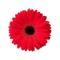 25 Gerbera  Carambole (Rot)