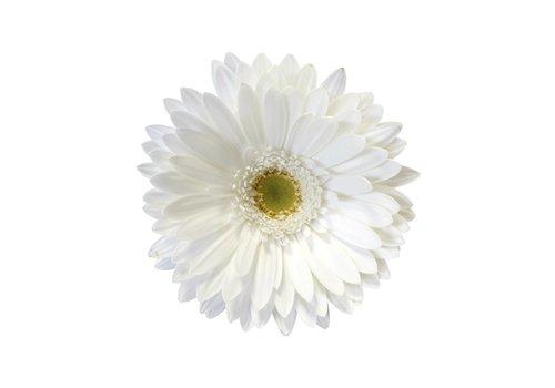 25 Gerbera Swanlake (Weiß)