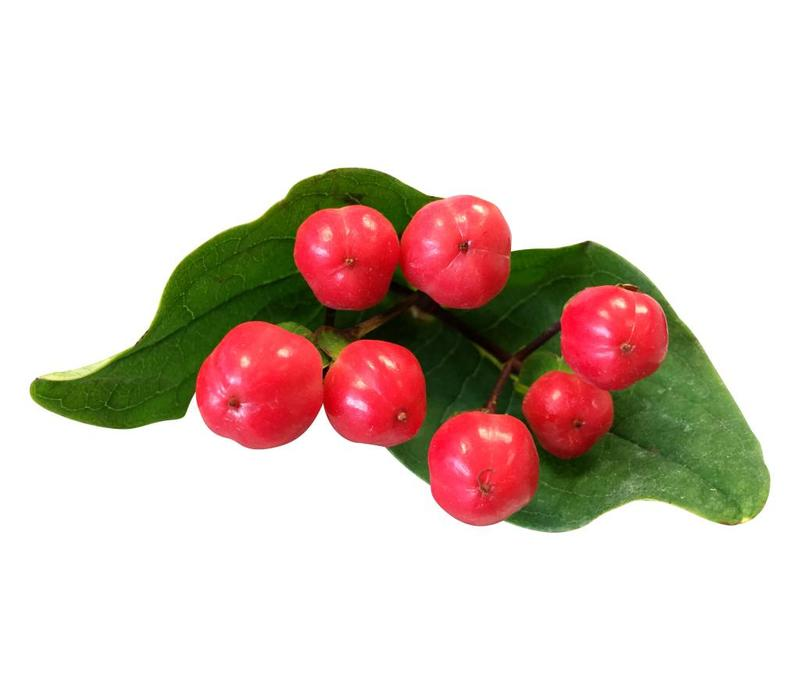 10 Hypericum Rot