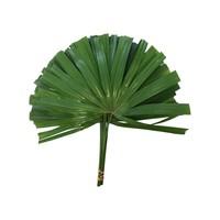 10 Chamaerops Blätter