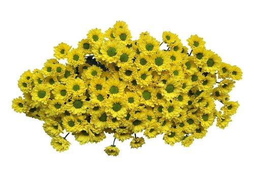 5 Santini Aviso (Gelb)