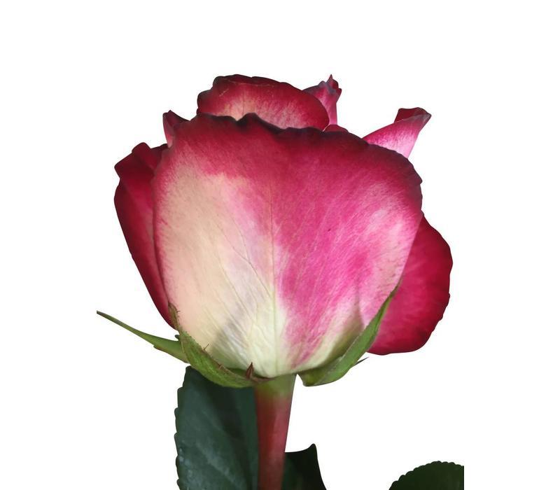 10 Rosen Cinderella