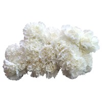 10 Edelnelken Weiß - Delphi