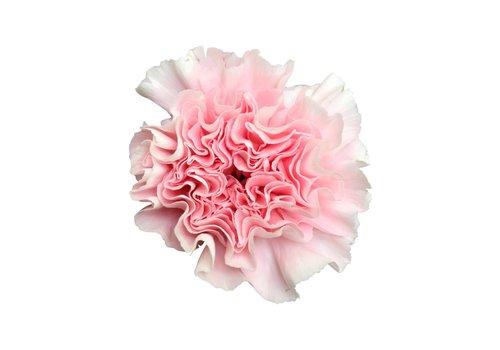 10 Edelnelken Rosa