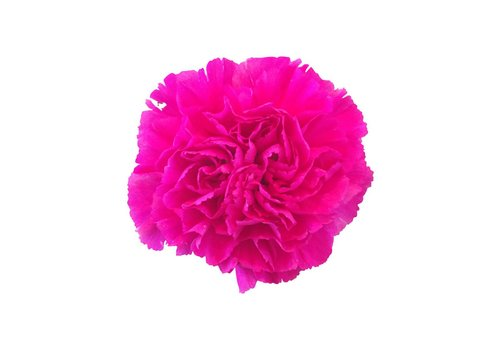 10 Edelnelken Pink