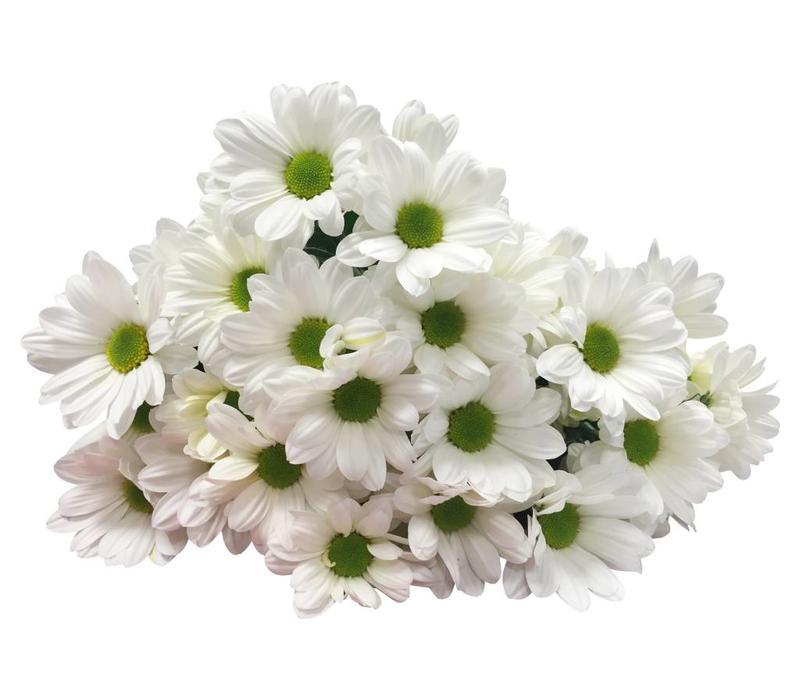 5 Chrysanthemen Bacardi  (Weiß)