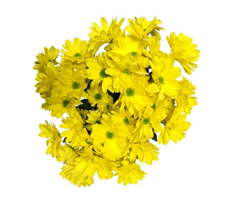 5 Chrysanthemen  Bacardi Sunny (Gelb)