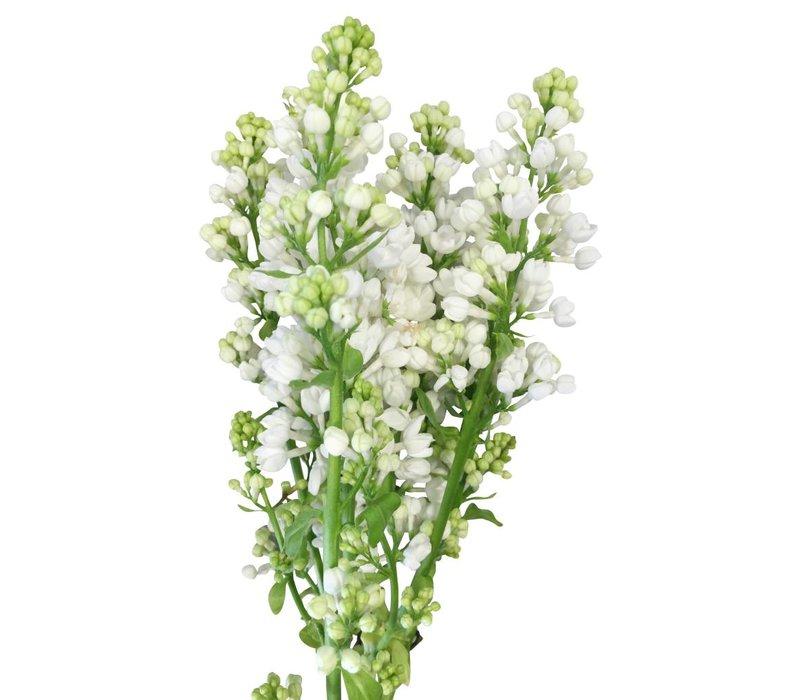 10 Flieder Weiß