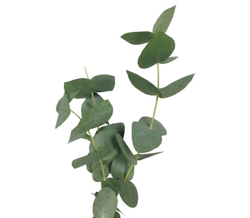 1 Bund Eukalyptus Cinerea