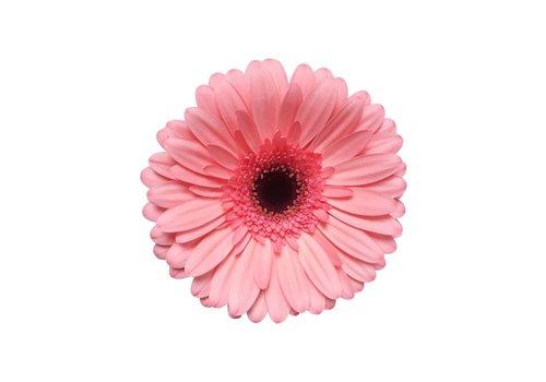 25 Gerbera Scala (Rosa)