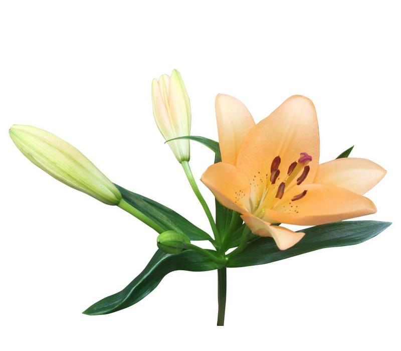 10 Lilien Heraklion (Orange)