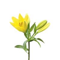 10 Lilien Nashville (Gelb)
