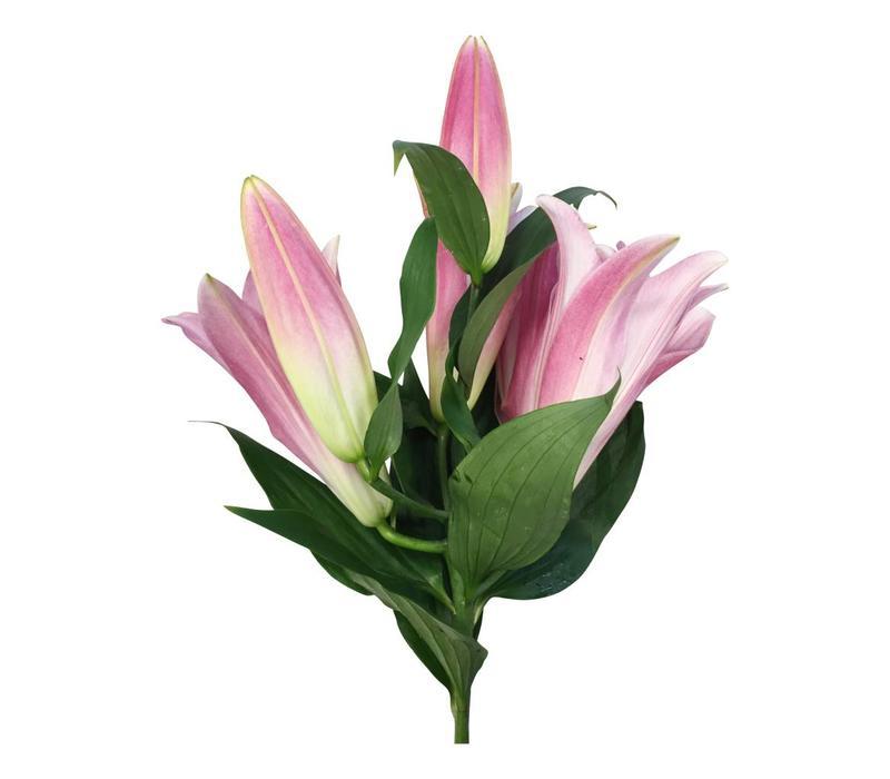 10 Lilien Tabledance (Rosa)