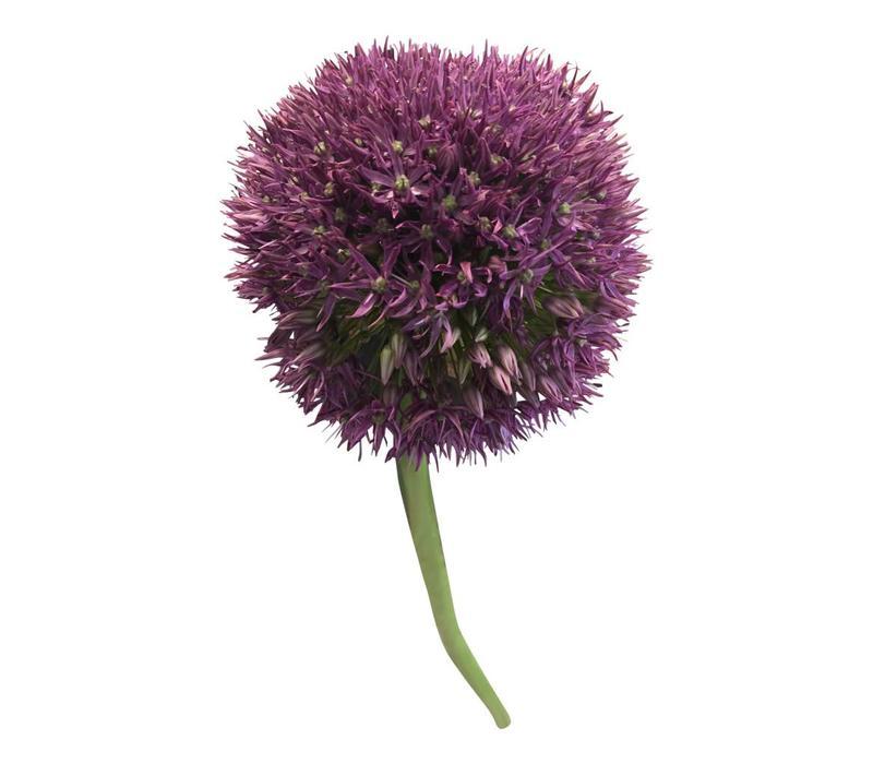 5 Allium