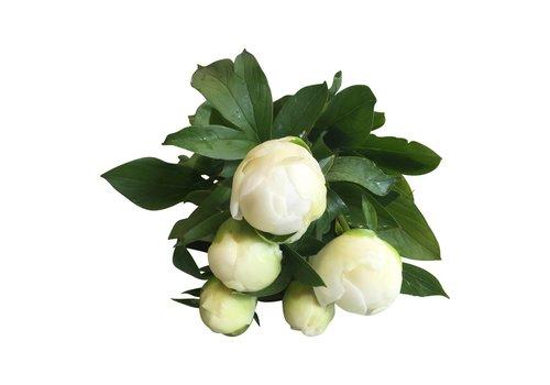 5 Pfingstrosen Duchesse de Nemours  (Weiß)