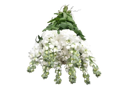 10 Levkoje Weiß