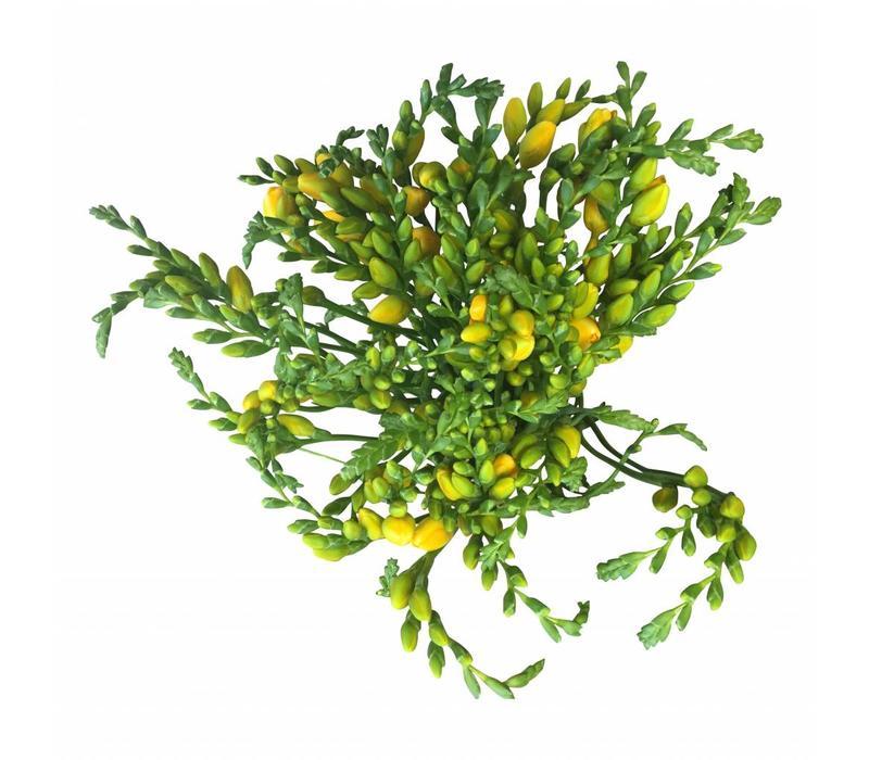 10 Freesien Soleil (Gelb)