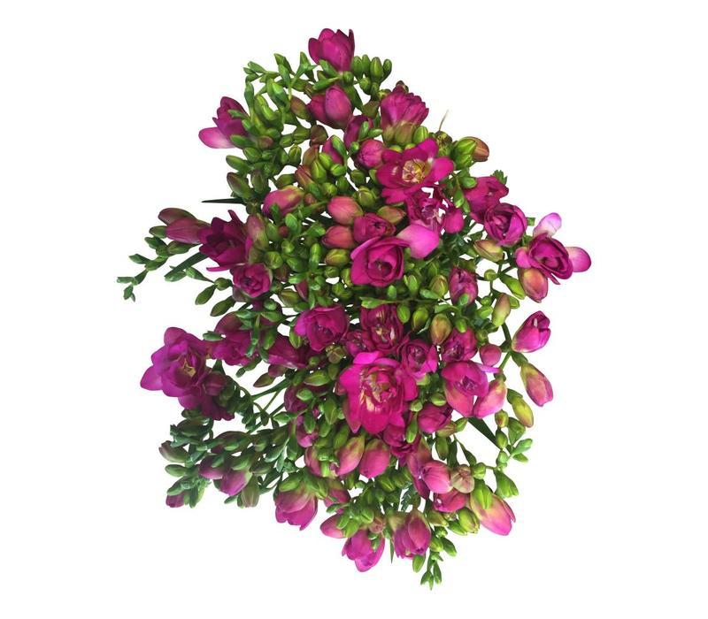 10 Freesien Purple Rain  (Pink)