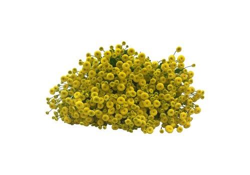 10 Matricaria Gelb