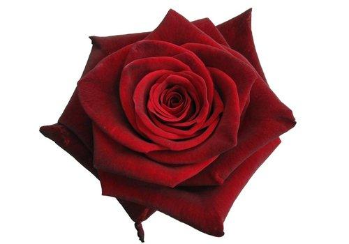 10 Rosen Dunkelrot Black Baccara