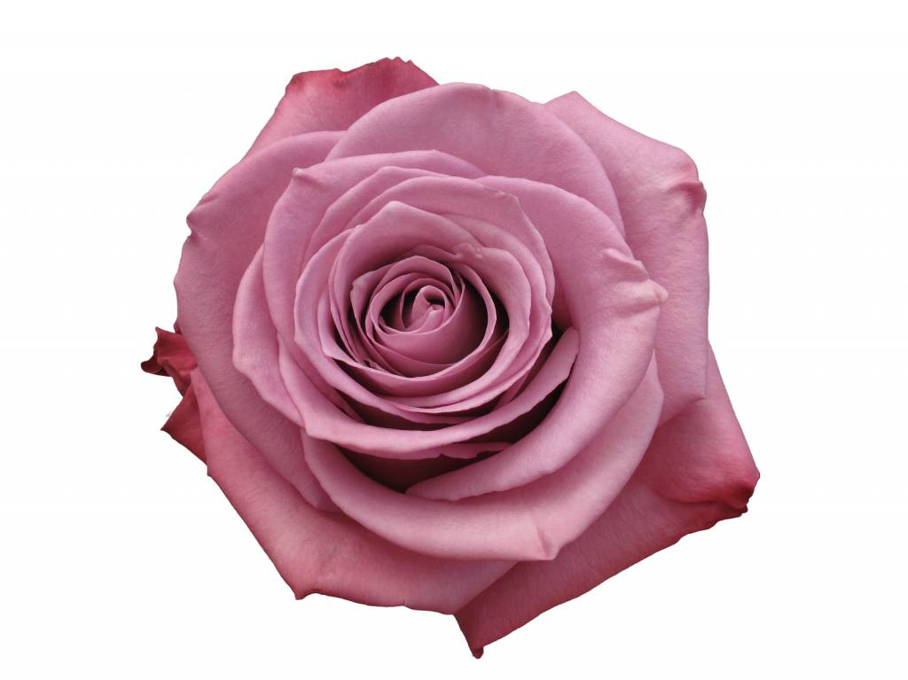 exklusive lila rosen bestellen rosen online bestellen. Black Bedroom Furniture Sets. Home Design Ideas