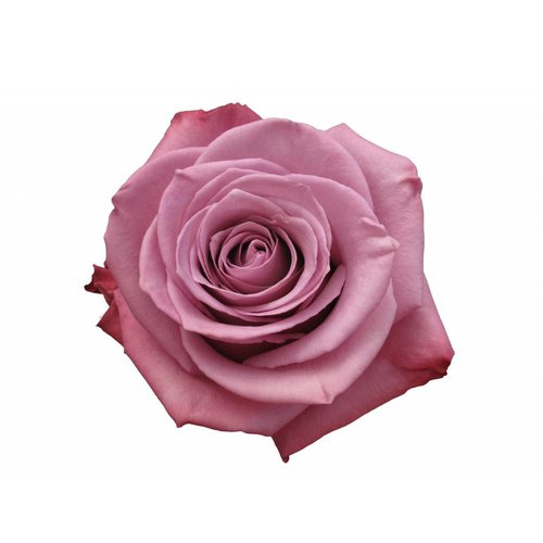 10 Rosen Lila Moody Blues