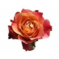 10 Rosen 3D