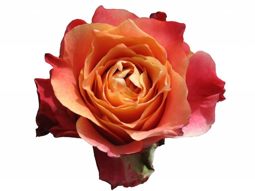 Ecuador Rosen Online Kaufen Bezahlbare Blumende Bezahlbare Blumende
