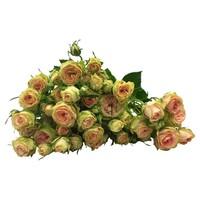 10 Tros-Rosen Pretty Pepita