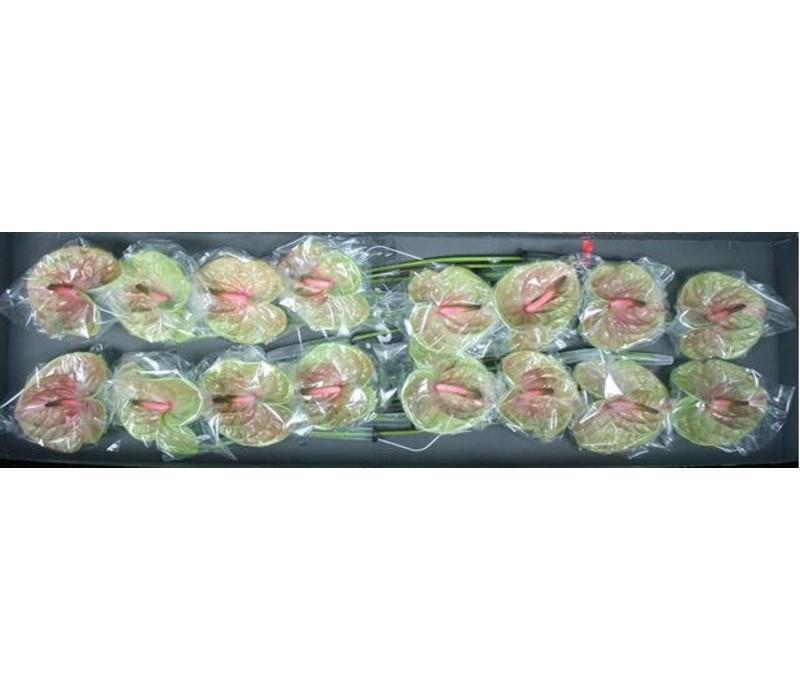 16 Anthurie Pistache (Grün-Rot)