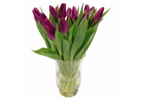 10 Tulpen Purple Prince
