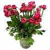 10 Ranunkeln Elegance Pink