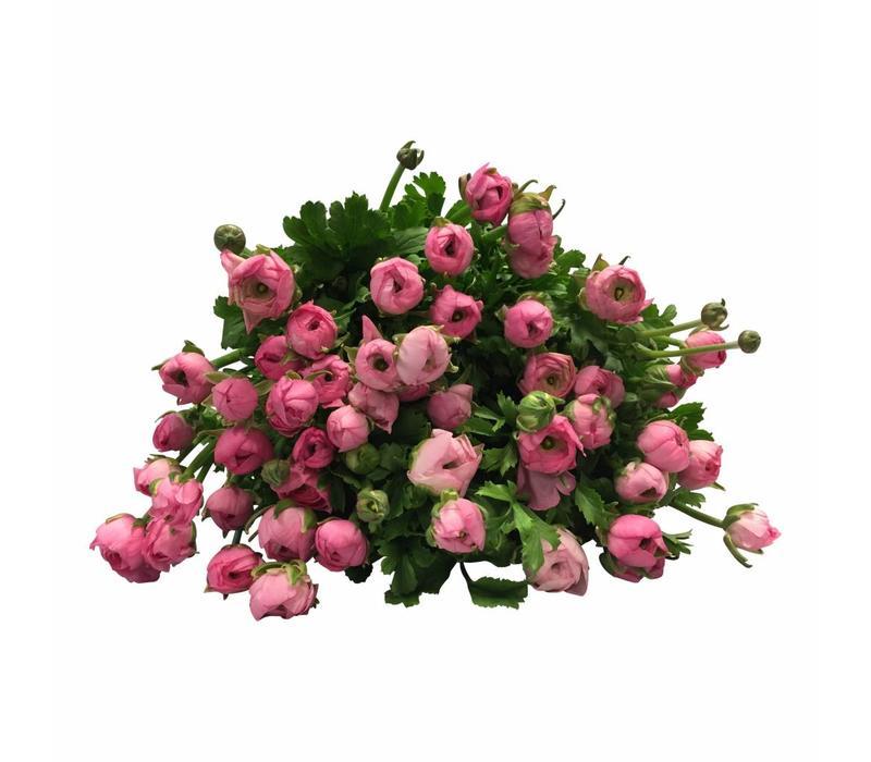 10 Ranunkeln Elegance Rosa