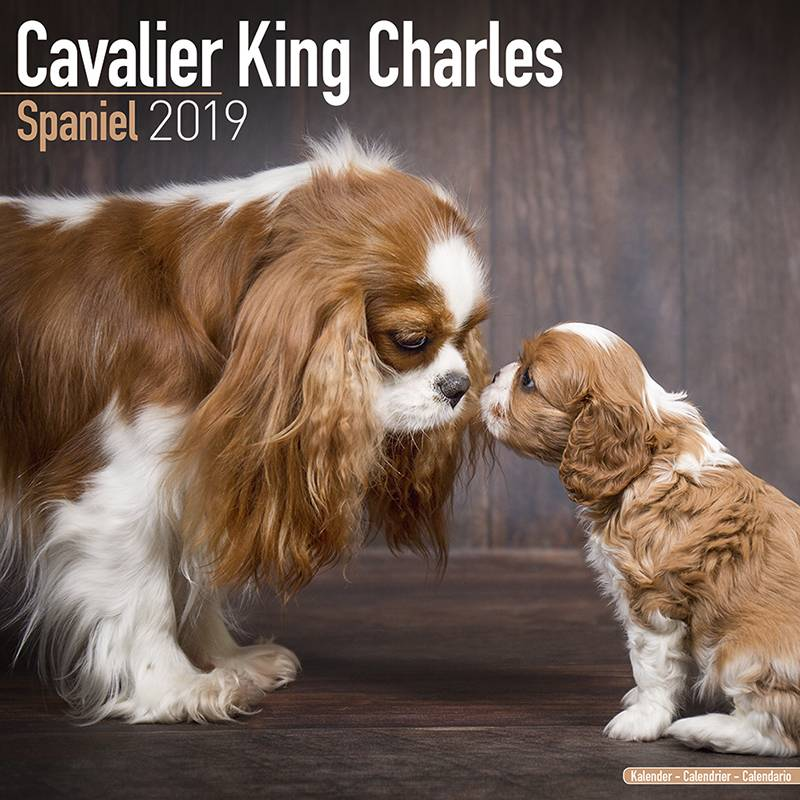 Cavalier King Charles Spaniel Kalender 2019 Avonside