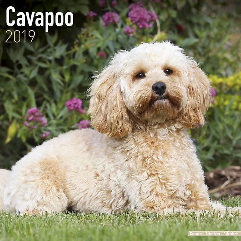 Cavapoo Kalender 2019