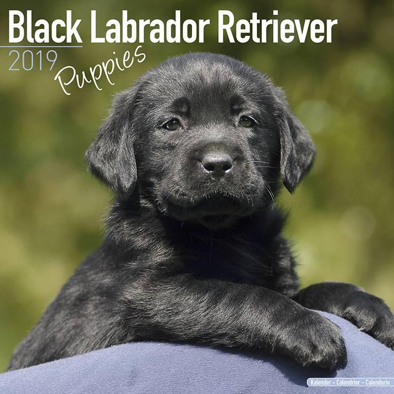 Labrador Retriever Zwart Puppies Kalender 2019