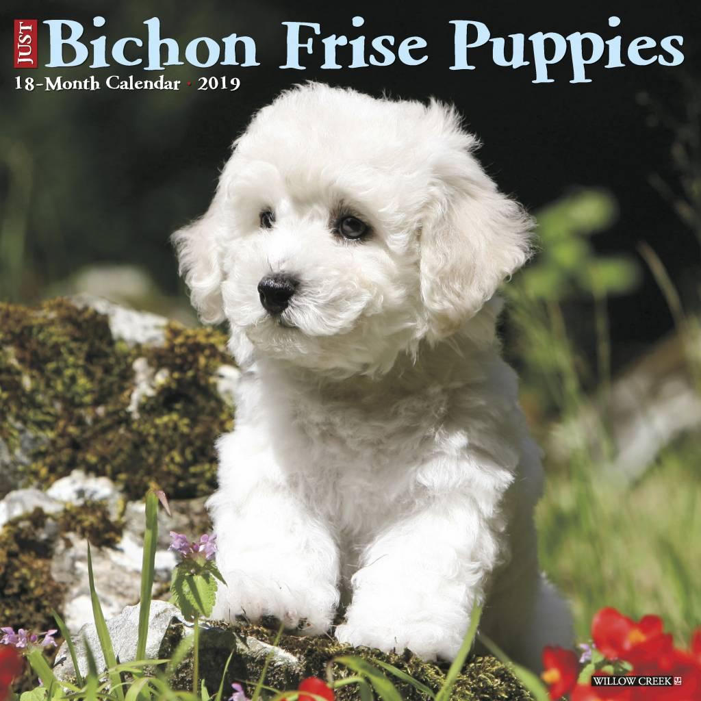 Bichon Frise Puppies Kalender 2019
