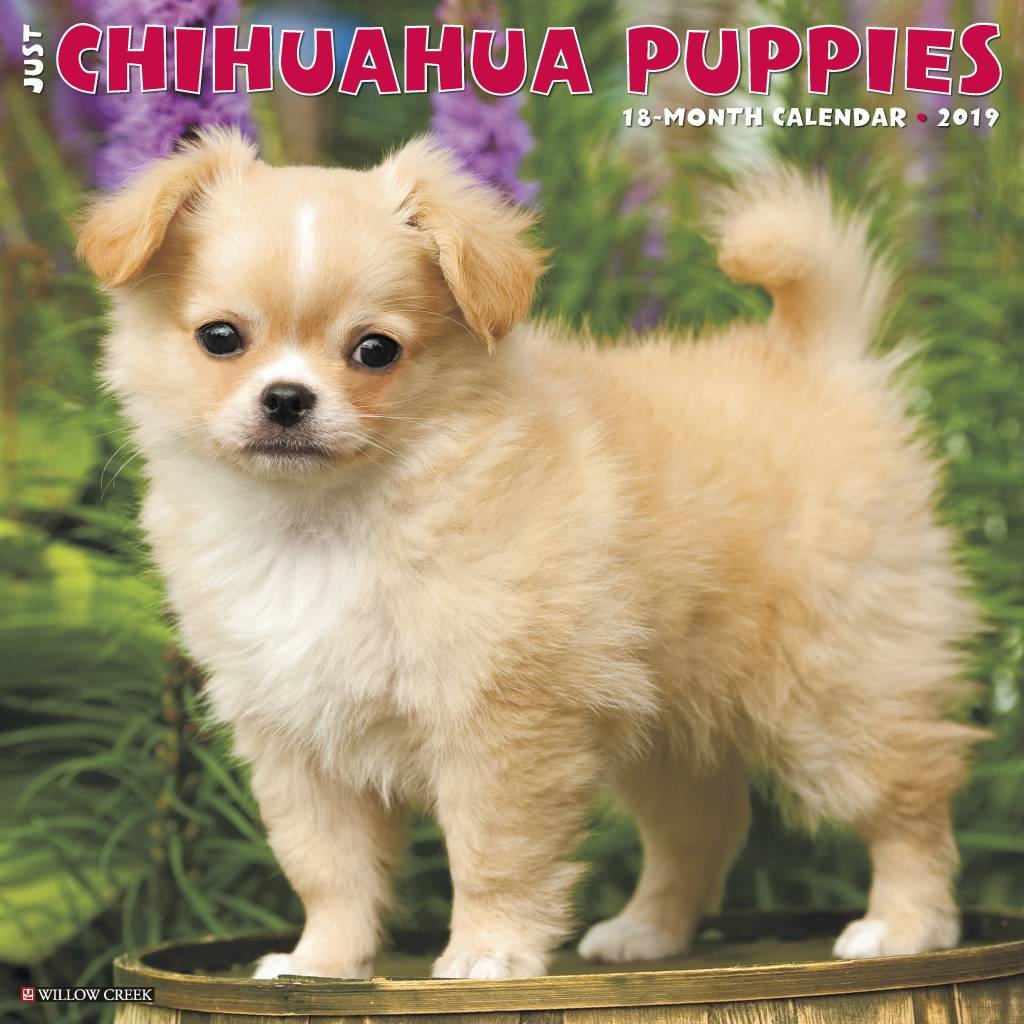 Chihuahua Puppies Kalender 2019